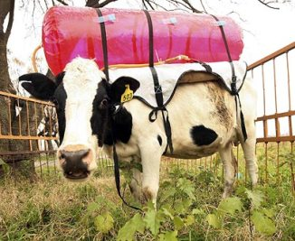 Argentine scientists are strapping plastic tanks to the backs of cows   REUTERS