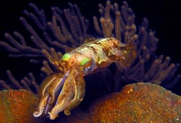 squid_melanin_5251